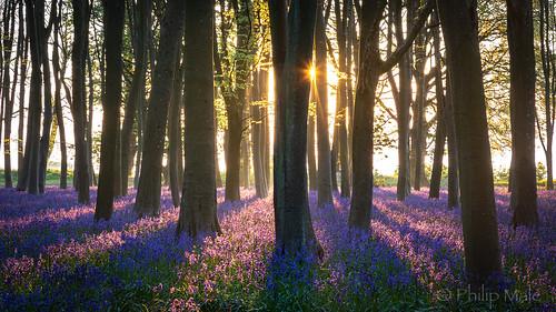 bluebells bluebell badburyclump badbury badburyhill oxfordshire sunrise