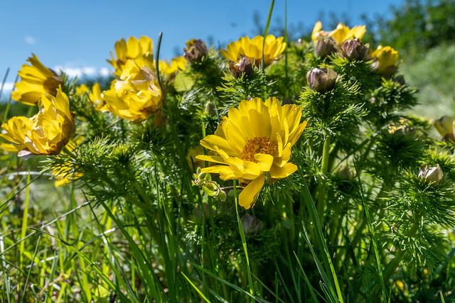 Mallnow: Frühlings-Adonisröschen - Spring pheasant's eye