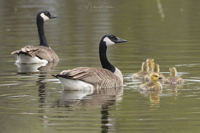 Canadian Goose Family