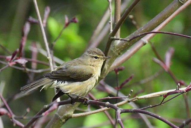 DSC_1948 Fitis - Willow Warbler