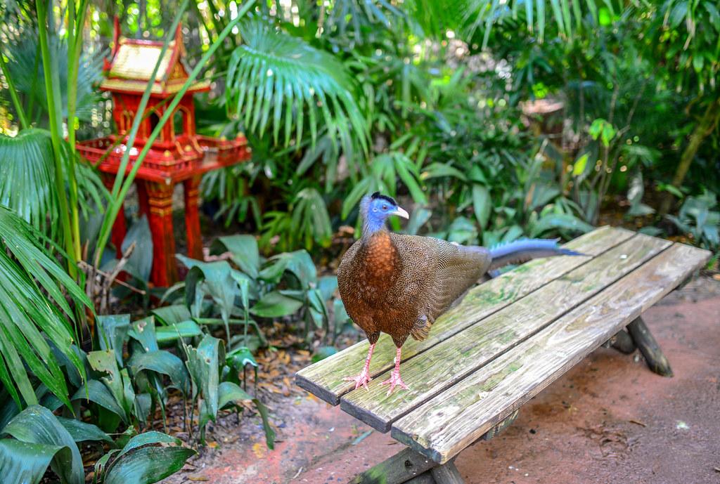 Big tail bird Maharajah Jungle Trek AK