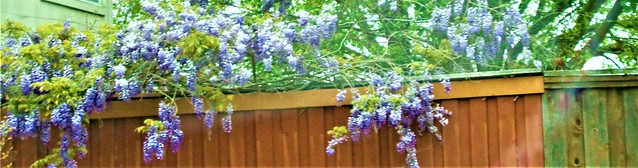 HAPPY FENCE FRIDAY;-----WISTERIA DAY