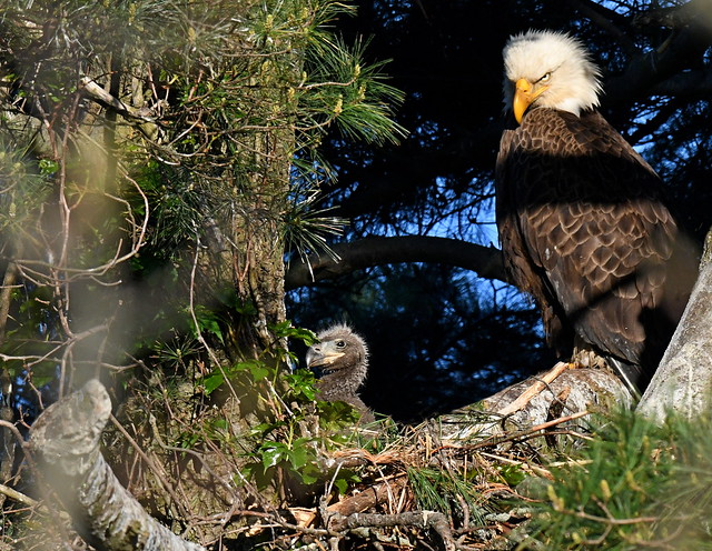 Mom Watching Baby- Bald Eagles