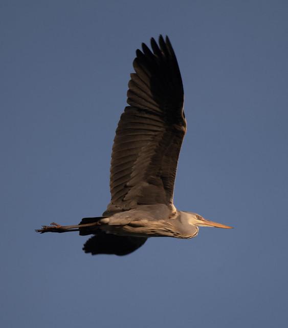 Blue Heron - Graureiher (Ardea Herodias)
