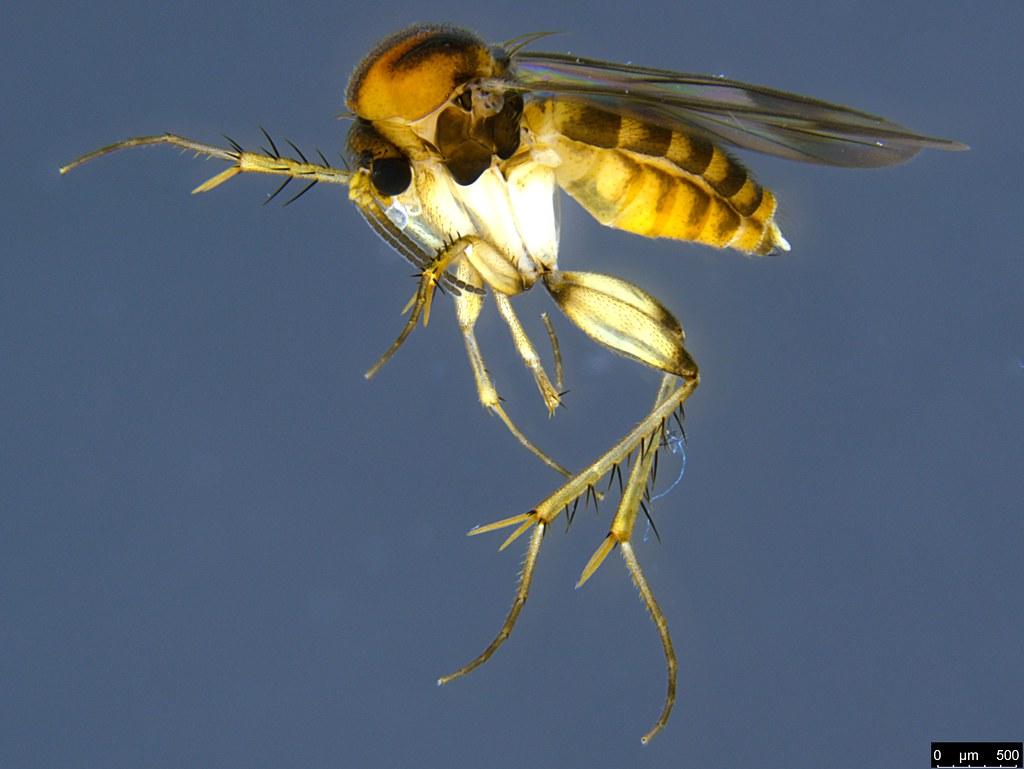 5 - Mycetophilidae sp.