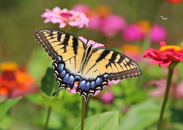 EASTERN TIGER SWALLOWTAIL - The Beauty Of God's Creation. Lake Wales Ridge, Polk County Florida USA 5/7/21