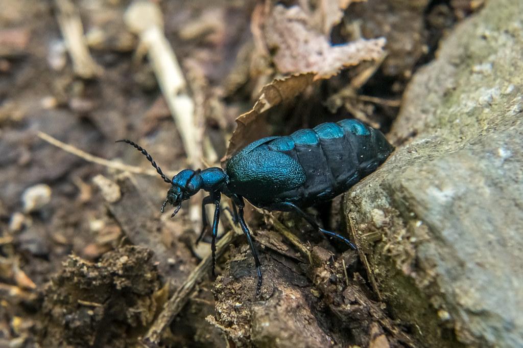 Oil beetle (female)