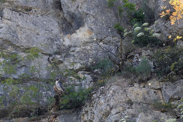Faucon pèlerin Falco peregrinus - Peregrine Falcon  1804_DxO
