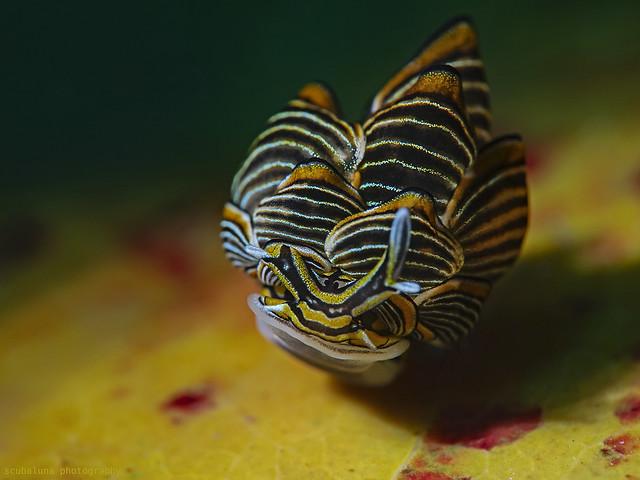 Schwarz-linierte Schlundsackschnecke, Black-lined sapsucking slug (Cyerce nigra)