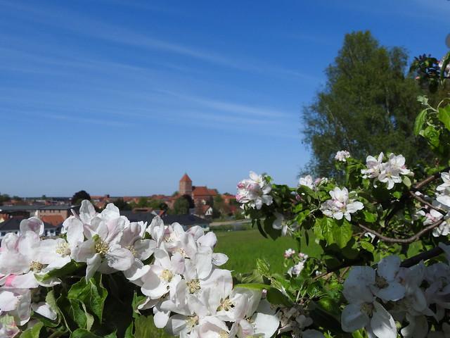Apfelblüte mit Blick auf die Stadt