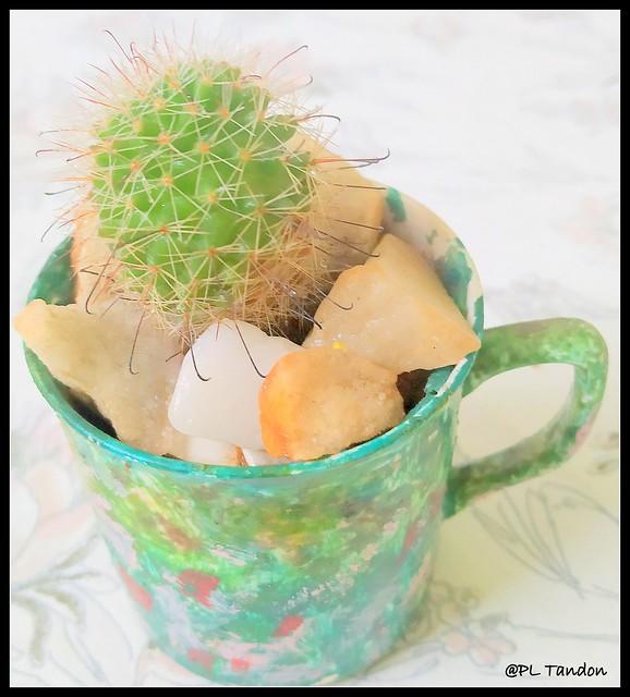 Fishhook cactus- Mammillaria sp.