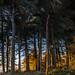 Golden Hour Woods