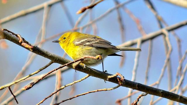 Yellow-Throated Vireo, Montgomery County, PA USA