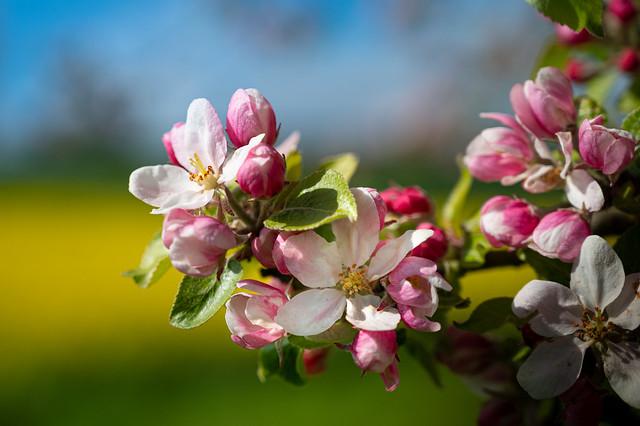 Little apple blossoms