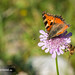 Schmetterling - Crop, bearbeitet mit Sharpen AI + Gigapixel AI
