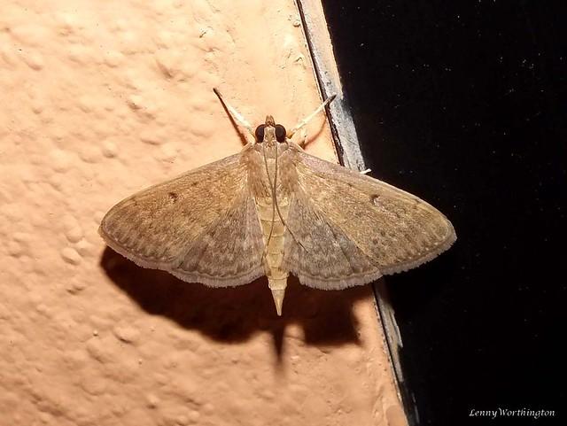 Herpetogramma phaeopteralis (Guenée, 1854) Crambidae