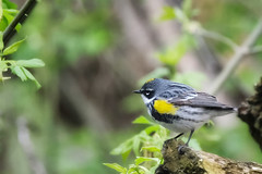 Yellow-rumped Warbler May 6