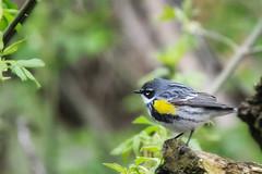 Yellow-rumped Warbler May 6