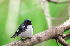 Black-throated Blue Warbler May 7x