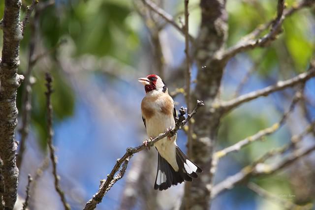 Pintassilgo (European Goldfinch - Carduelis carduelis)