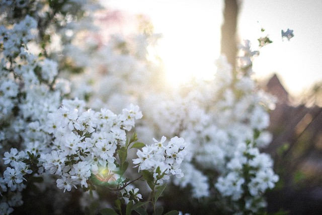 pure white flowers in evening sunlight