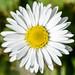 7 May. Daisy.