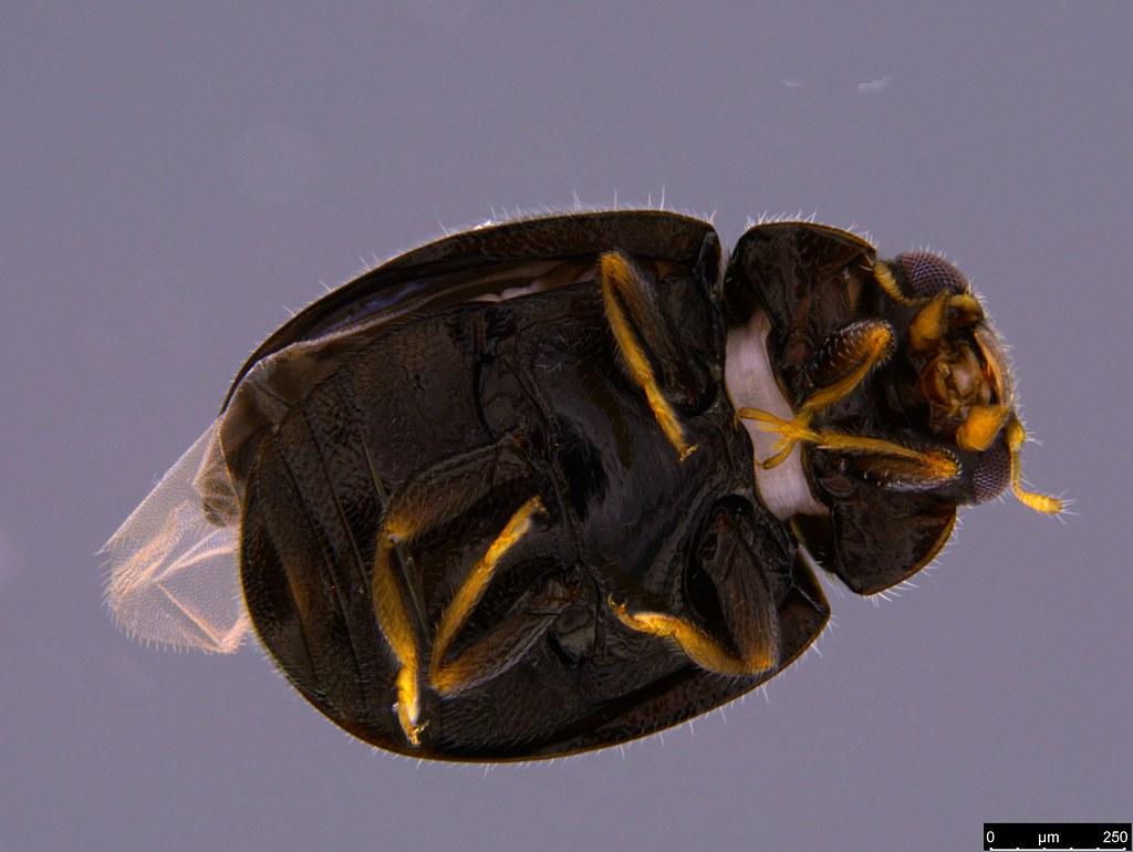 1b - Coccinellidae sp.