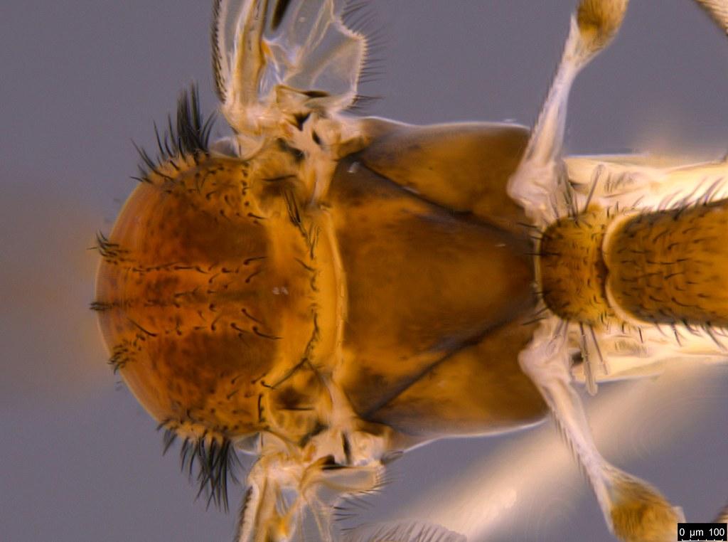 4b - Pyrtaula sp.