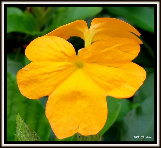 The Firecracker Flower