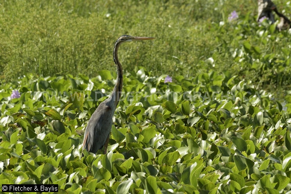51722 Purple Heron (Ardea purpurea) surrounded by invasive Water Hyacinth (Eichhornia crassipes) while fishing in wetlands produced by former tin mining activity, Kinta Nature Park, Perak, Malaysia