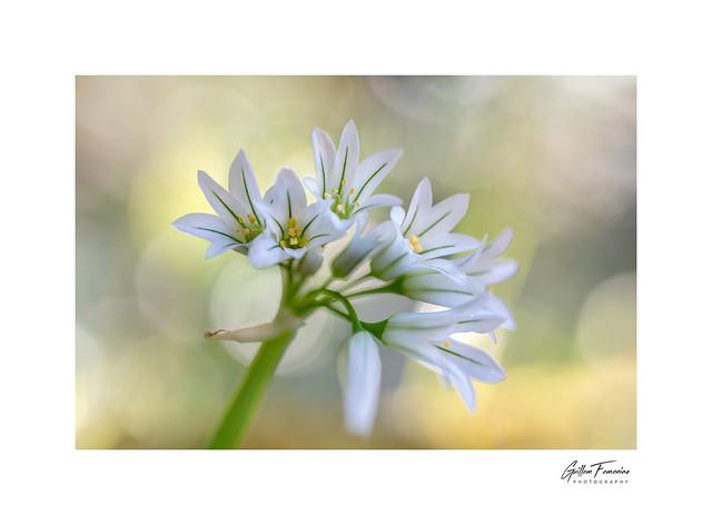 Colors of Spring (Allium triquetrum)