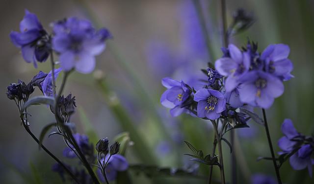 Polemonium Bressington Purple (Jacob's ladder)