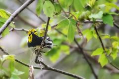 Yellow-rumped Warbler May 6v2