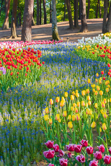 Tulip flower at Hitachi Seaside Park