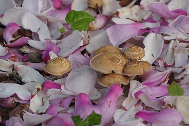 mushrooms in April under Jane Magnolia tree