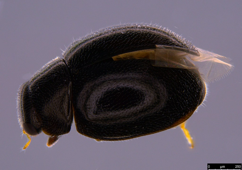 1a - Coccinellidae sp.