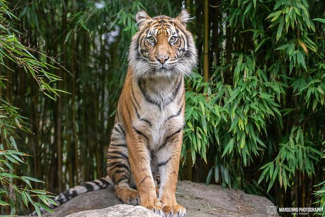 Sumatran Tigress - Zoo Heidelberg - Germany