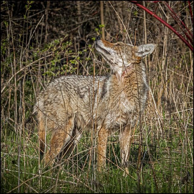 Mangy Toronto Coyote