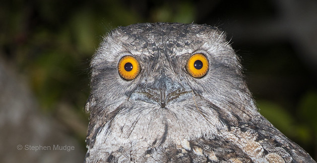 Portrait of a Tawny Frogmouth