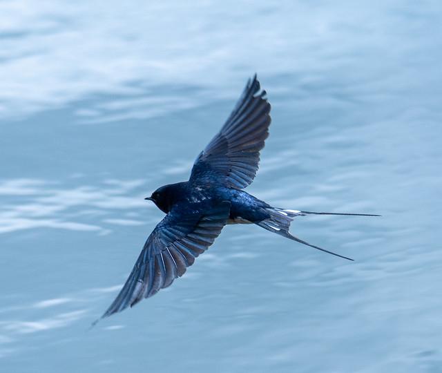 Barn swallow - Rauchschwalbe (Hirundo rustica)