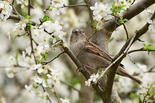 DSC_1900 Sperling - Sparrow