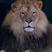 "<p><a href=""https://www.flickr.com/people/154721682@N04/"">Joseph Deems</a> posted a photo:</p>  <p><a href=""https://www.flickr.com/photos/154721682@N04/51164760952/"" title=""Kijani - 4 yr. old male lion""><img src=""https://live.staticflickr.com/65535/51164760952_6cec43d509_m.jpg"" width=""184"" height=""240"" alt=""Kijani - 4 yr. old male lion"" /></a></p>  <p>Dallas Zoo</p>"