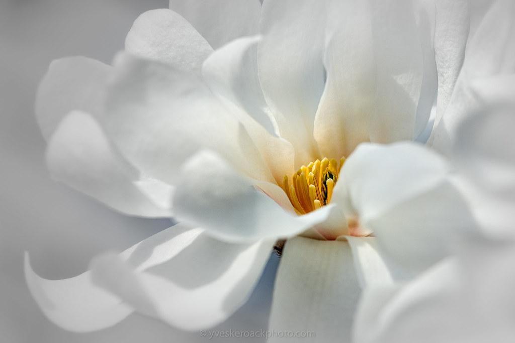 Magnolia blanc, Jardin botanique de Montréal, 2021-04-18, avant la neige du 21 avril