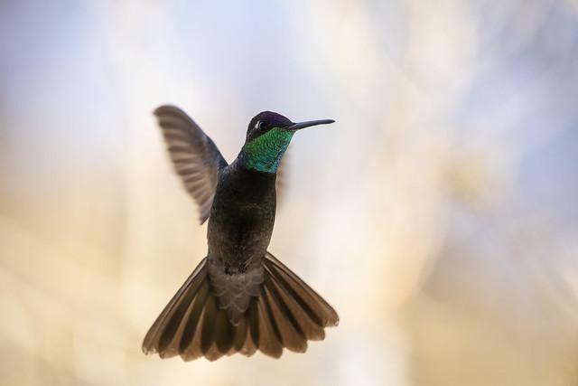 Rivoli's (Magnificent) Hummingbird Hovering