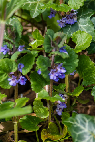 Ground ivy by canal, opposite Wildside