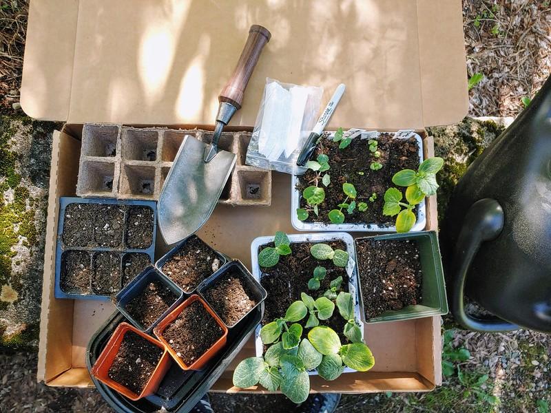 Potting up the squashes, nasturtium, and basil