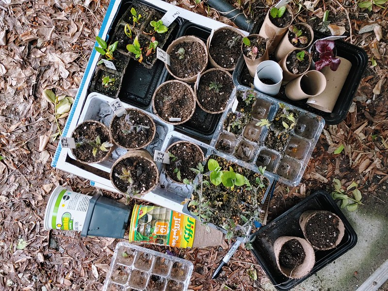 Potting up the indoor-grown  tomatoes, eggplants, mustard, and chard