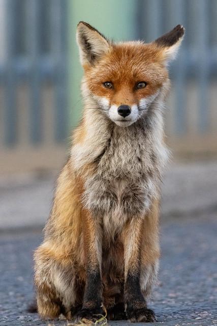 "A evening with ""mum"" urban fox"