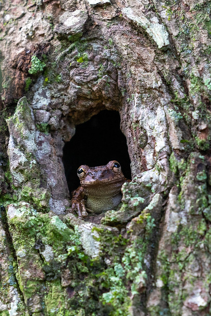 Cuban Treefrog - Sawgrass Lake Park (2)