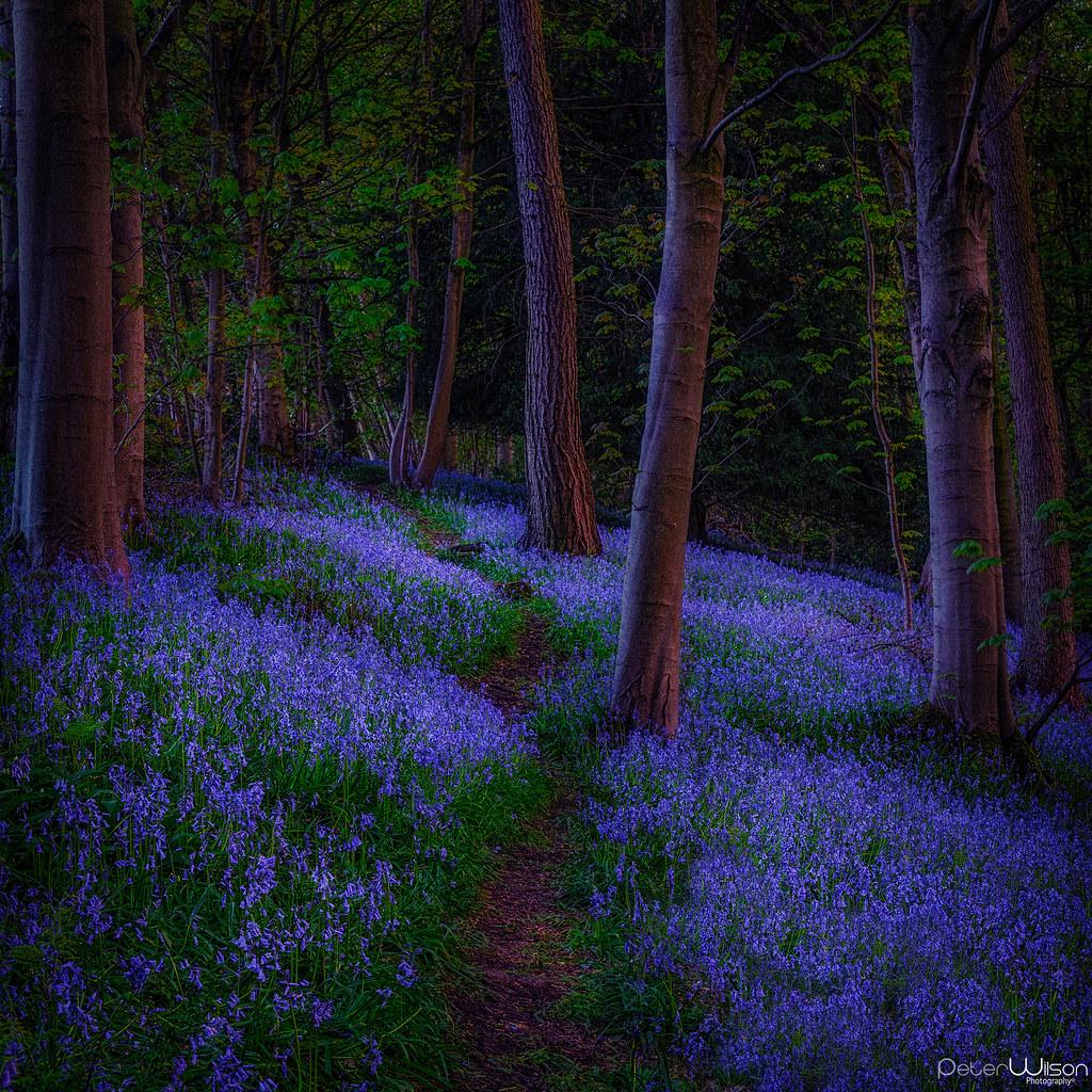 A stroll through the Bluebells